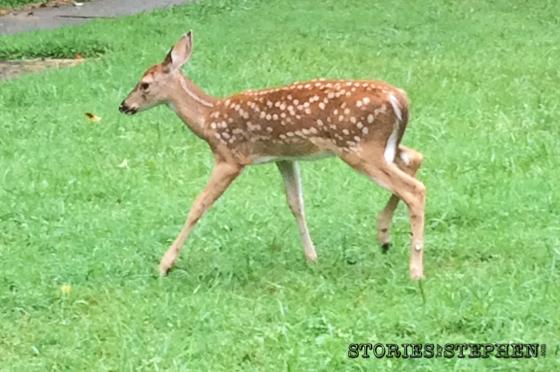We saw several families of deer.