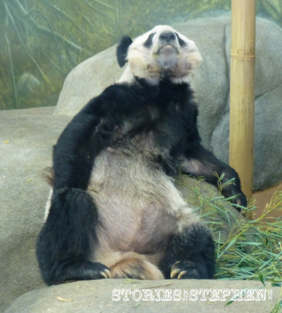 The panda bear is one of the laziest animals ever. It just lays there looking almost dead.