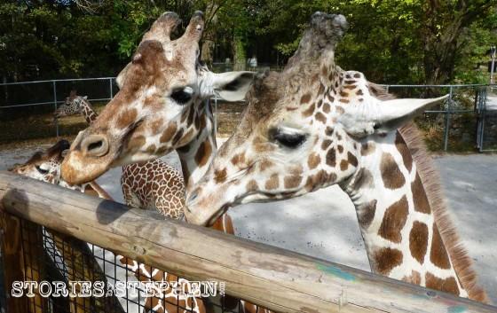 Close-up shot of some giraffes.