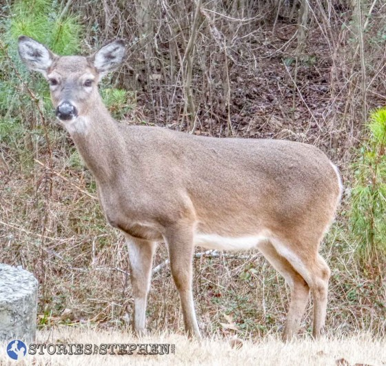 I saw plenty of deer this week, as they seem to be plentiful at Lake Guntersville State Park.
