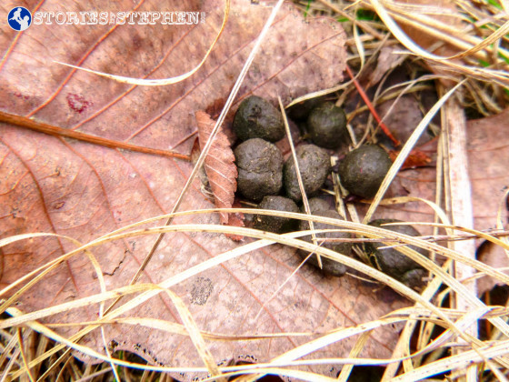 More evidence of all the deer in the area: deer droppings.